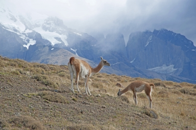 Pair Of Grazing Guanacos In Patagonia Chile
