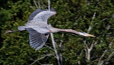 Eye Level Fly-by – Great Blue Heron
