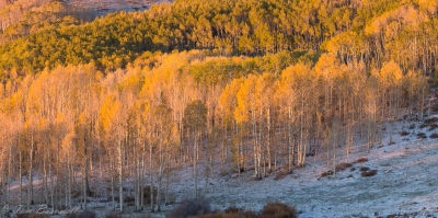 Aspen Glow In The Morning Sun