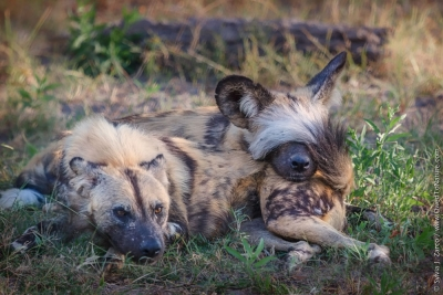 Who Turned Off The Lights – Wild Dogs, Selinda Botswana
