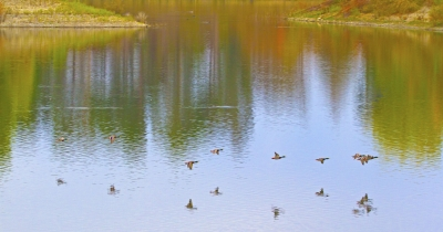 Flight Of The Mallards Over Quarry Lakes, Fremont In Fall