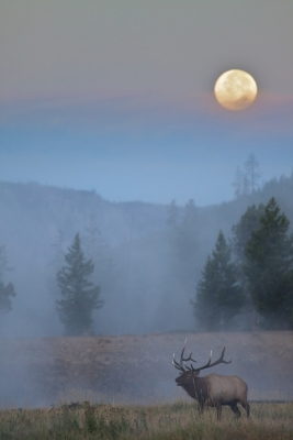 Bull Elk, Full Moon