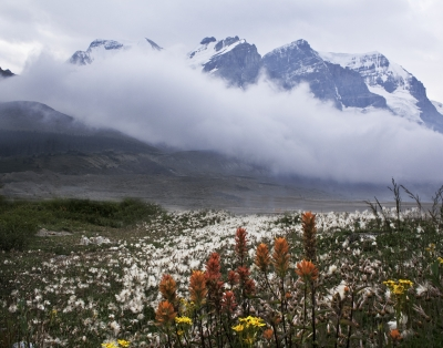 Indian Paintbrush At Columbia Icefields
