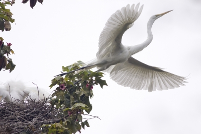Great Egret Leaving The Nest