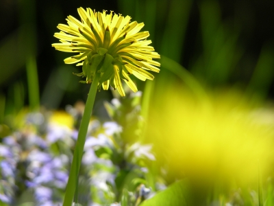 Dandelion Glowing Brightly In The Garden