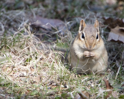 Fat Chipmunk