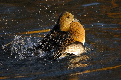 Active American Wigeon