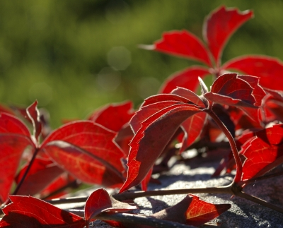 Fall Colors Virginia Creeper