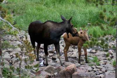 Cow Moose And Calf Kissing