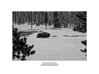 On The Move- Bison In Winter