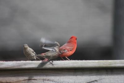 Cardinal Fly By