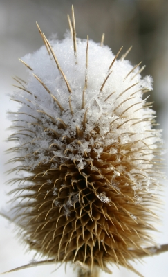 Snow On Teasel