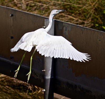I'm Out Of Here – Great Egret Taking Off