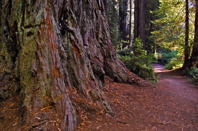 Base Of Giant Redwood Treee Along The Trail