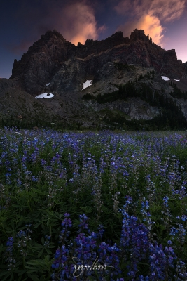 Lupines In The Last Light