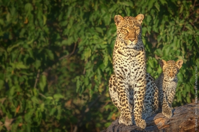 Just Like Mom – Leopard, Selinda Botswana