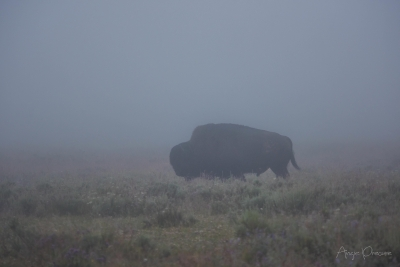 Foggy Bison
