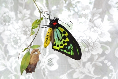 Birdwing Butterfly Emergence
