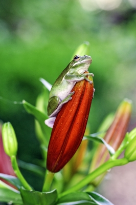 Green Tree Frog On Red Flower Bloom
