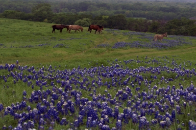 Spring Bluebonnets