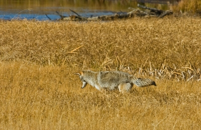 Coyote Spies Lunch