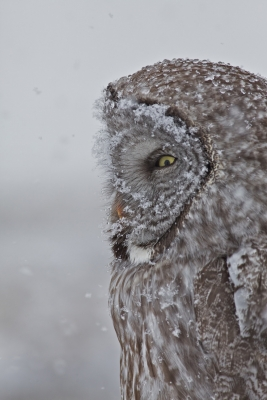 Snowy Great Grey Owl