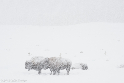 Bison In Snowstorm