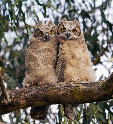Young Horned Owls