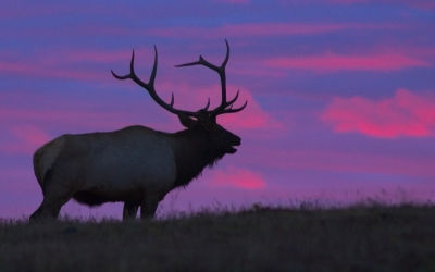 Bull Elk At Sunrise