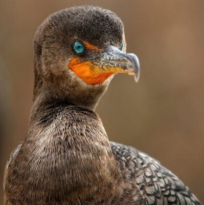 Double-crested Cormorant Portrait