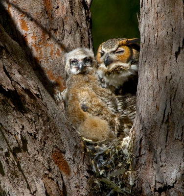 Great Horned Owl With 3 Week Old Chick