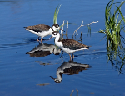Baby Black Necked Stilts