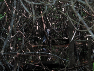 Yellow Crowned Night Heron In The Mangrove Forest
