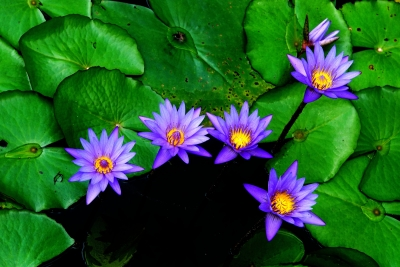 Five Beauties–water Lily