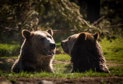 Grizzlies Playing