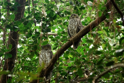 Barking Owls Perched