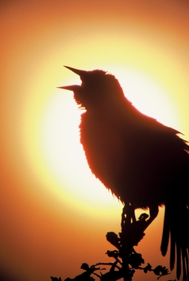 Redwing Singing At Sunrise
