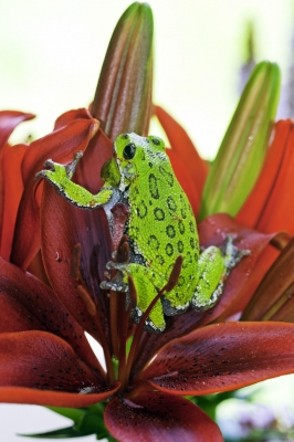 Green Tree Frog On Red Flower