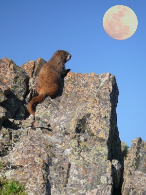 Moon Over My Marmot