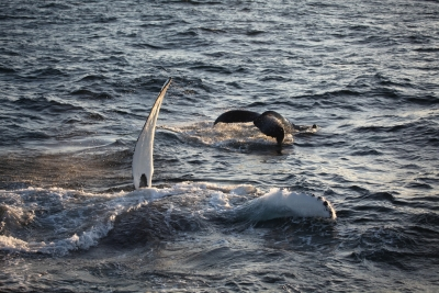 Playful Whale Mom And Cub