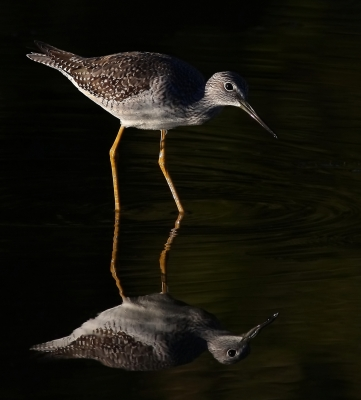 Greater Yellowlegs Reflects