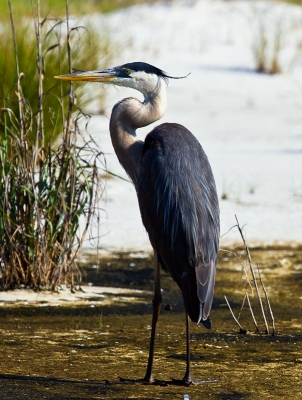 """""""drive-by Shooting"""" Of A Blue Heron"""