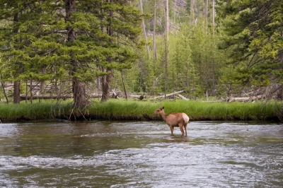 Elk In Madison River