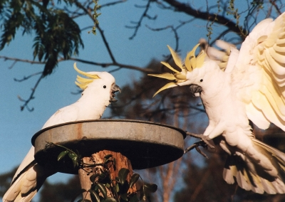 Sulphur Crested Cockatoos Squabble Over A Back Yard Feeder
