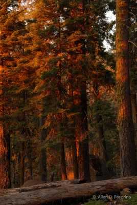Fall Afternoon In The Giant Forest  2, Sequoia National Park
