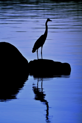 Twilight Heron