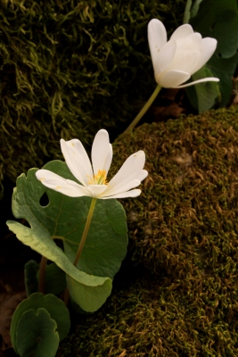 Bloodroot In Macon County