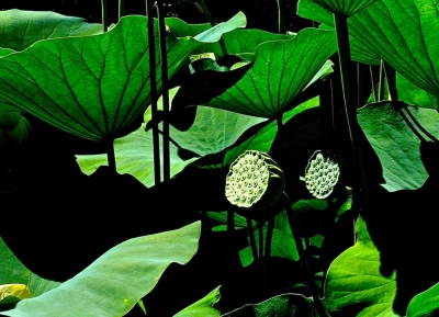 One Of The Lotus' Cycles Of Life…..the Pod.