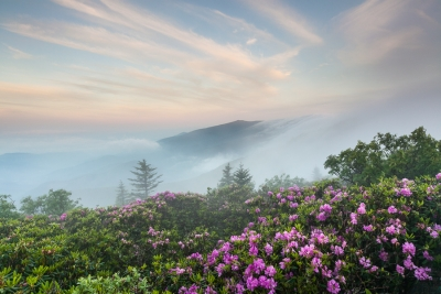 Roan Highlands Catawba Rhododendron Annual Bloom