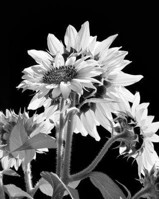 Black And White Cluster Of Sunflowers